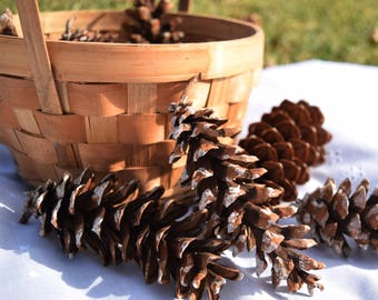 Natural White Pine (pinus strobus) Cones for Decorating, Crafting