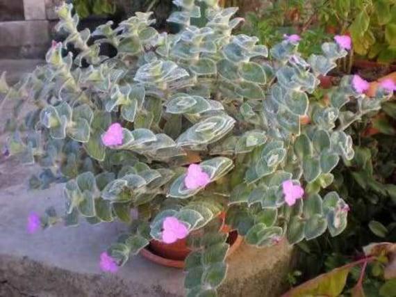 Cobweb Spiderwort Tradescantia sillamontana one high quality cutting Succulent