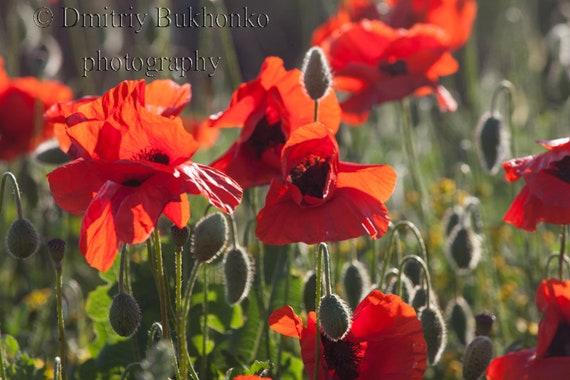 Poppy flowers photography nature photography flower photo etsy image 0 mightylinksfo
