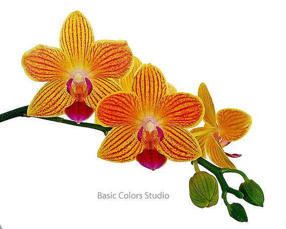 Veined Orchids In Bloom Original Photograph Color Etsy