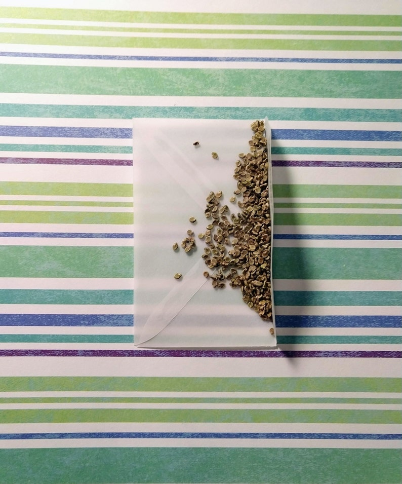 Poppy Mallow Flower Seeds 100+ seeds Callirhoe leiocarpa Wine Cup Flowers