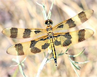 Insect Photo, Insect Print, Dragonfly Print, Dragonfly photo, Dragonfly print, Insect, Nature photography, Fine art, Digital download