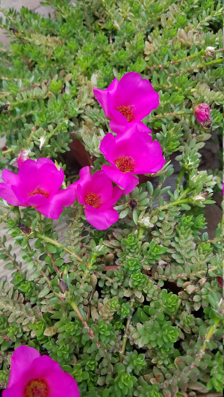 Portulaca Puerto Rican Purslane Moss Rose Hot Pink Flowers Etsy