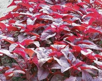 Amaranth Red (Spinach,Cheera,Hinn Choy,Phak Khom)250 + SEEDS