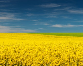 Landscape of canola (print Fine Art signed, numbered and limited to 30 copies)