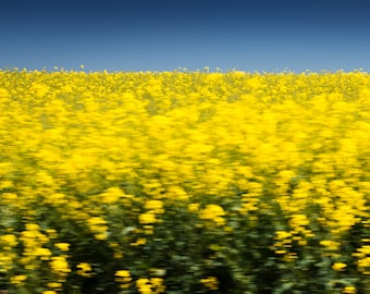 Canola (print Fine Art signed, numbered and limited to 30 copies)