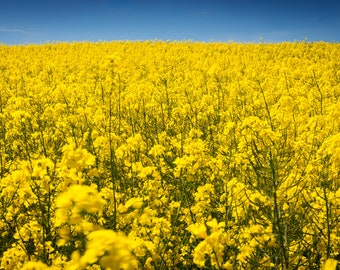 Rapeseed in bloom 3 - Artistic photography landscape rapeseed - Limited edition large format photo print authenticated and signed - fine art print