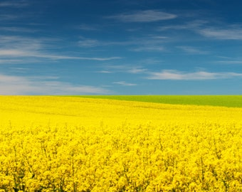 Rapeseed in bloom 2 - Artistic photography landscape rapeseed - Limited edition large format photo print authenticated and signed - fine art print