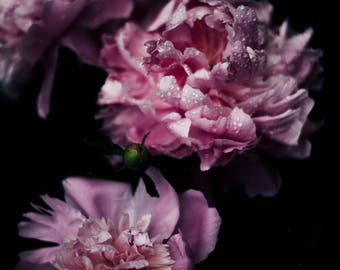 Dark Bloom Series #3, Floral Photography Poster Wall Art and Home Decor