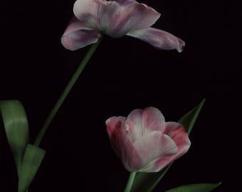 Dark botanical Tulip