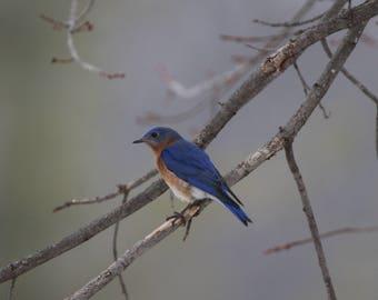 "Eastern Bluebird Photo, 8"" x 10"", Printed on Kodak Endura Premier Metallic Paper, Ready for Framing"