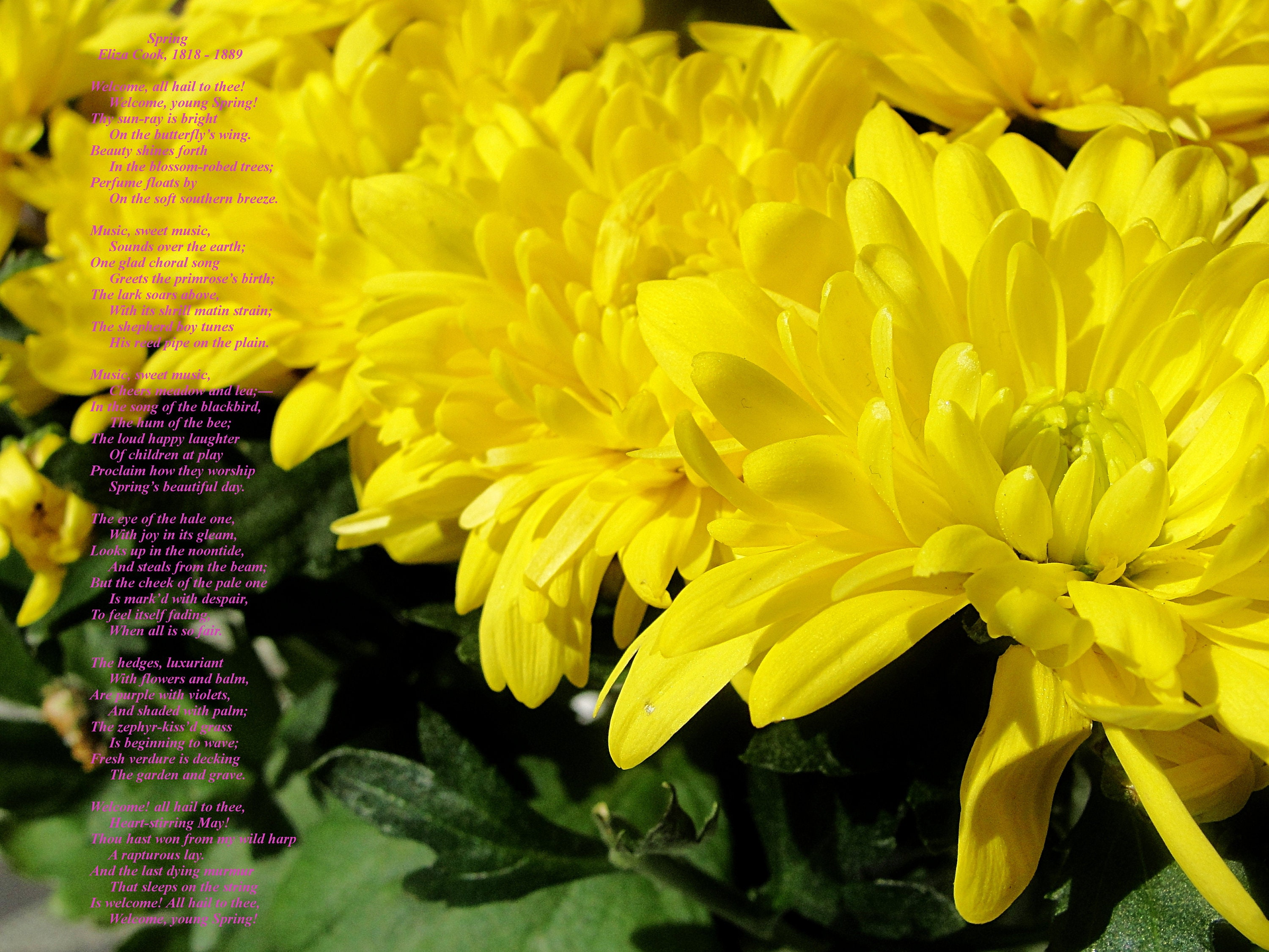 Yellow Mums Photograph With Springtime Poem Two Photos Etsy