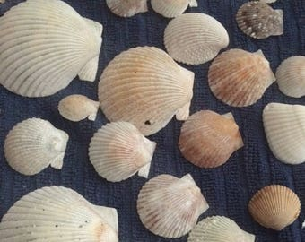 Mixed Fan & Calico Scallop Shells