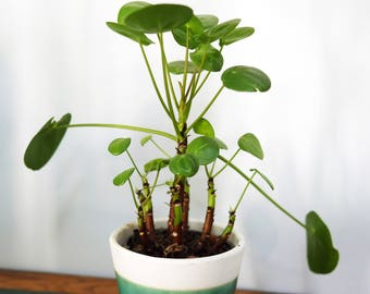 PLANT CELL PEPEROMIOIDES