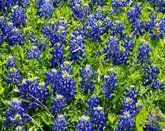 Texas bluebonnets etsy texas bluebonnet flower seeds 100 seeds mightylinksfo