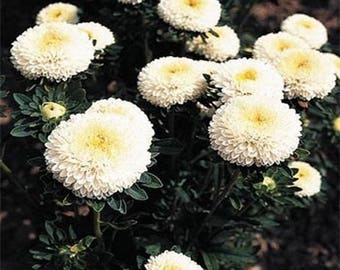 Aster- Pompon White -50 Seeds