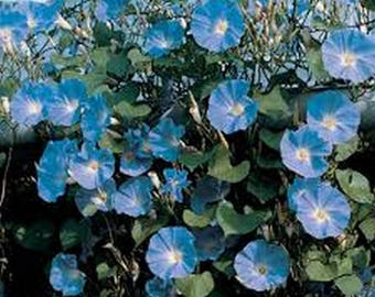 Morning Glory- Heavenly Blue- 100 seeds