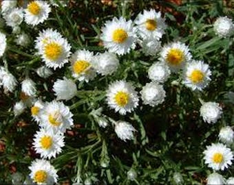 Paper Daisy- Helipterum- White- 50 Seeds