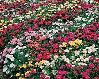 Moss Rose- Portulaca Grandiflora- Mixed Colors - 200 Seeds