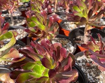 Aeonium arboreum atropurpureum - Purple Rose Aeonium Cutting - Succulent Cuttings