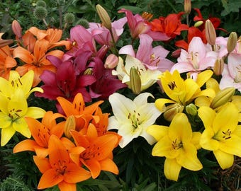 10 Lily Bulbs-Asiatic Lily Mix (Pack of 10 Bulbs) -Spectacular, Colorful Blend.