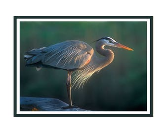 Great Blue Heron at Sunrise