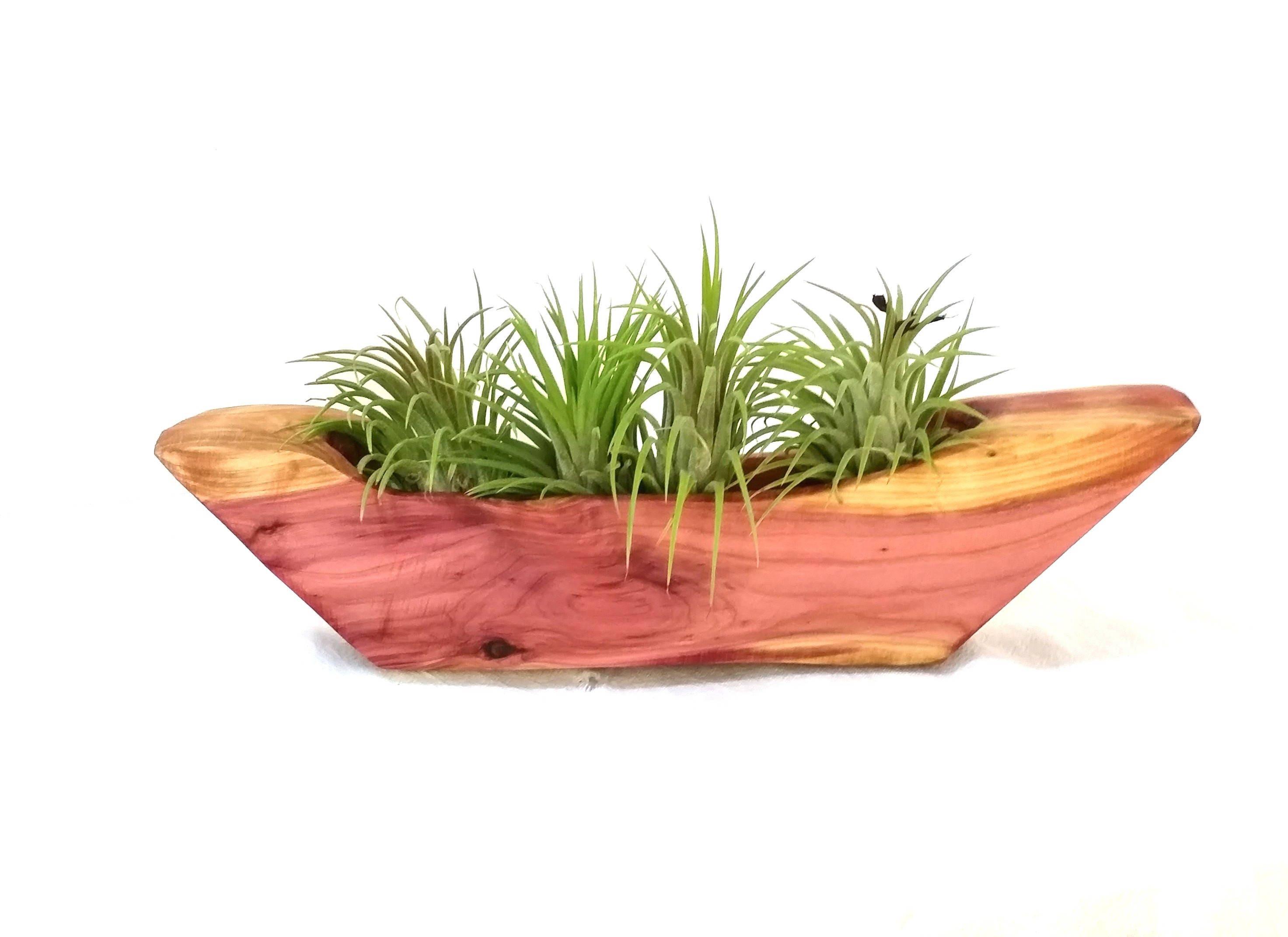 Plantes de l'air l'air l'air en cèdre porte, Air plantes Tillandsia, cèdre Terrarium, plante d'Air contenant, porte plante d'Air, pot usine d'Air. a3020f