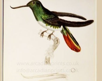 Trochilus Recurvirostris, Humming Bird