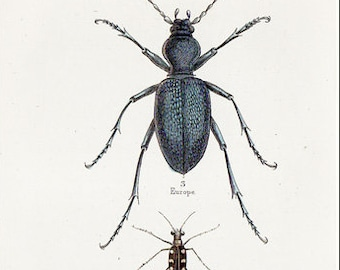 Beetles from The Naturalist's Library by William Jardine: Cicindela aurulenta and others