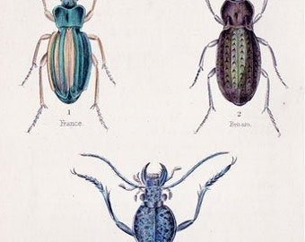 Beetles from The Naturalist's Library by William Jardine: Carabus auratus and others
