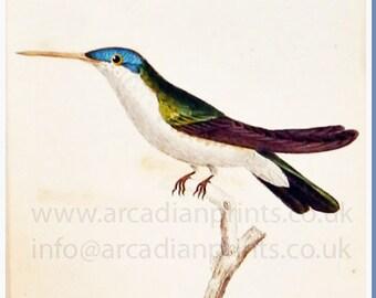 Antique hand coloured humming bird print, Trochilus Quadricolor
