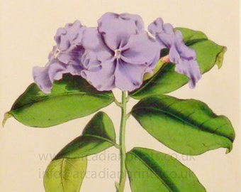 Franciscea confertiflora, antique botanical print by C J Rosenberg