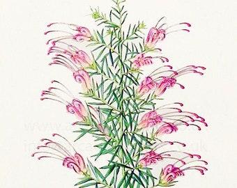 Grevillea lavandulacea, antique botanical print by C J Rosenberg