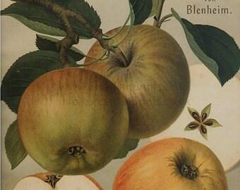 Goldrenette von Blenheim apple - antique chromolithograph
