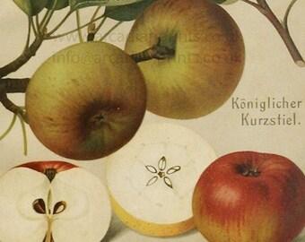 Koniglicher Kurzstiel apple - antique chromolithograph