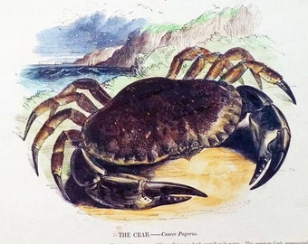The Crab - early print with original hand colouring