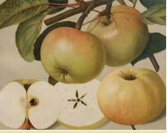 Weisser Winter-Taffetapfel apple print - antique chromolithograph