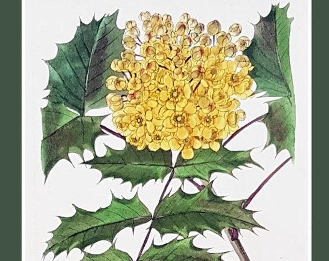 Berberis aquifolium, antique botanical print by C J Rosenberg