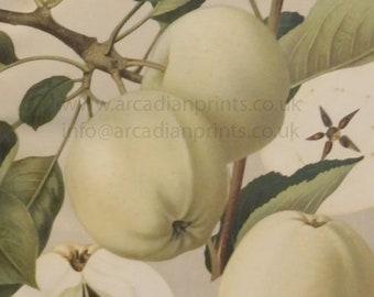 Weisser Klar-Apfel apple print - antique chromolithograph