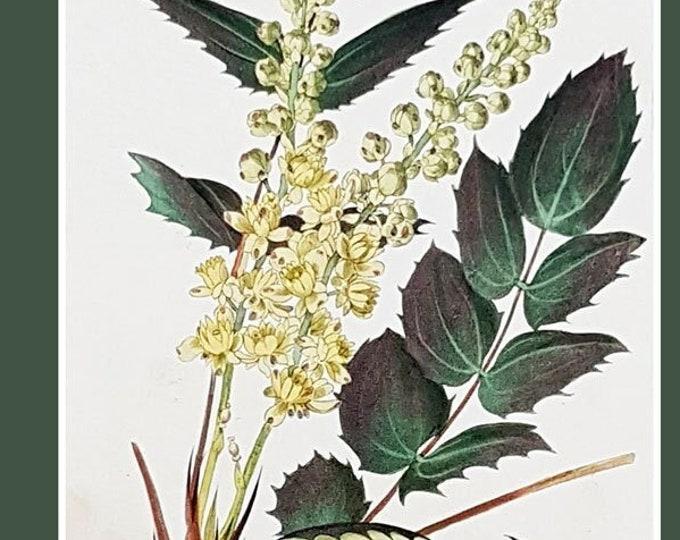 Berberis glumacea, antique botanical print by C J Rosenberg