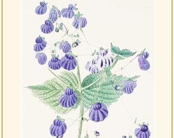 Calceolaria Purpurea botanical print