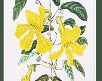 Bignonia gracilis, antique botanical print by C J Rosenberg