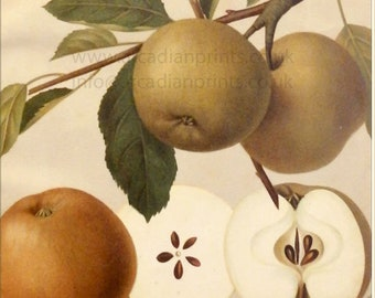 Parker Pepping apple - antique chromolithograph