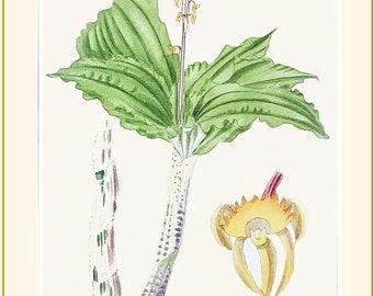 Liparis priochilus, antique botanical print from The Botanical Cabinet