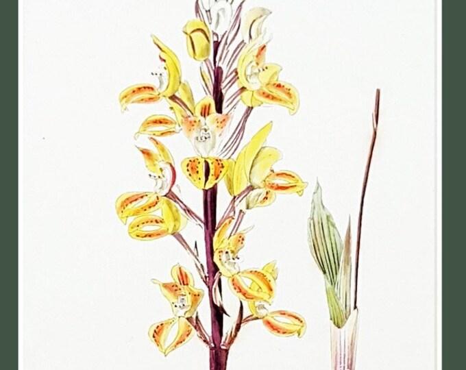 Govenia superba, antique botanical print by C J Rosenberg