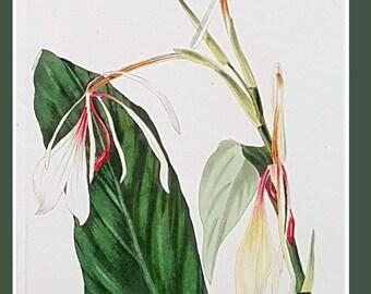 Hedychium acuminatum, antique botanical print by C J Rosenberg
