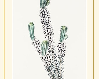 Erica Empetroides, antique botanical print from The Botanical Cabinet