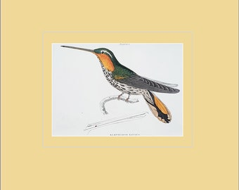 Ramphodon Naevius