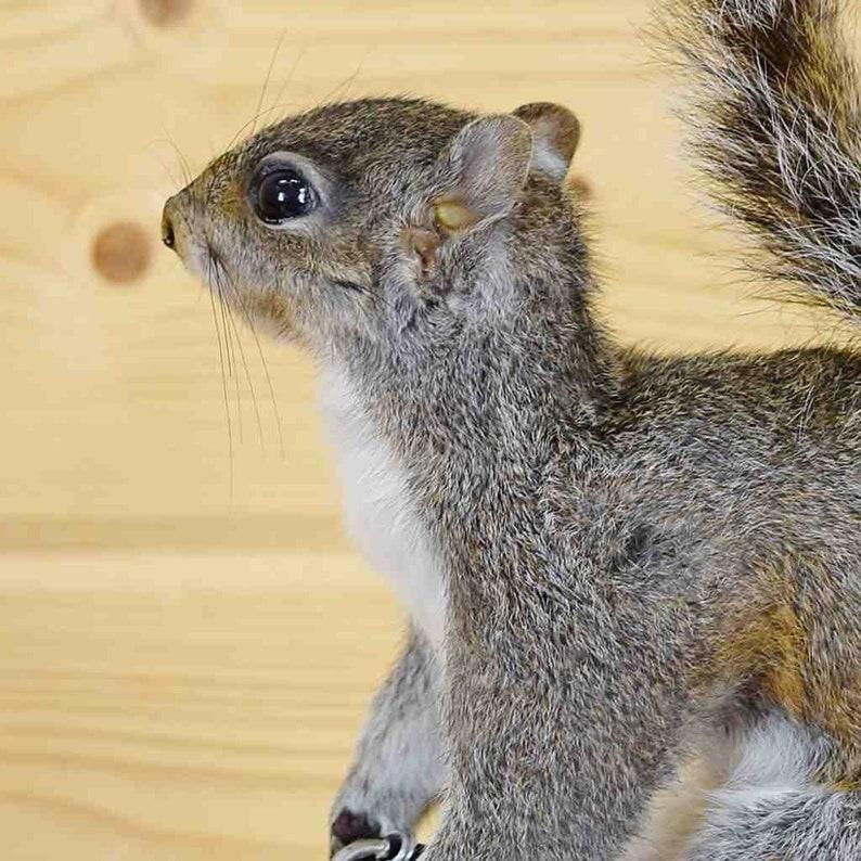 Gray Squirrel Biker Taxidermy Mount SW5806 Novelty Taxidermy Mounts
