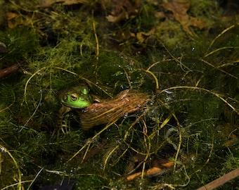 Frog in a Pond (digital download)